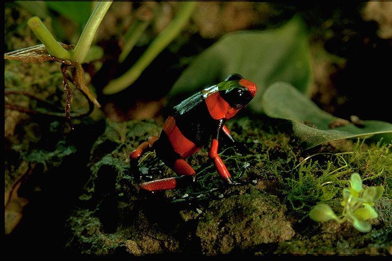 Red Dendrobates lehmanni © Reto Siegenthaler